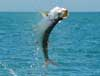 One of Lex's Tarpons off South Padre Island